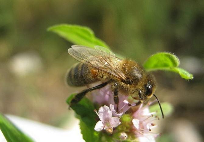 Дикая пчела бурзянка